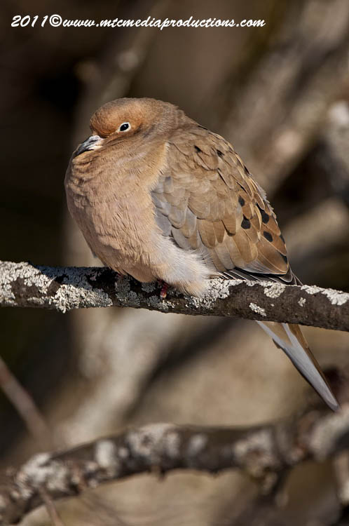 Mourning Dove Picture-27