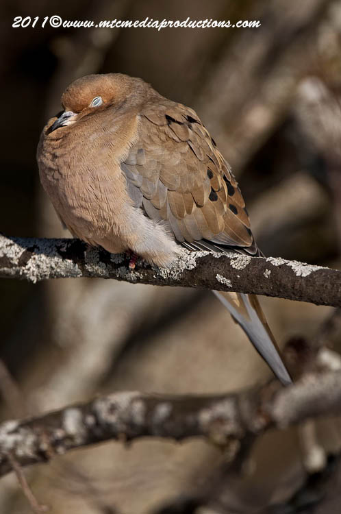 Mourning Dove Picture-28