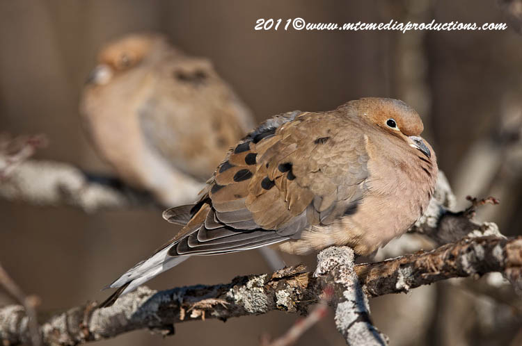 Mourning Dove Picture-29