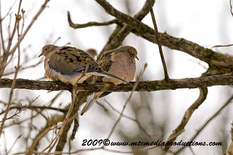 Mourning Dove Picture-03
