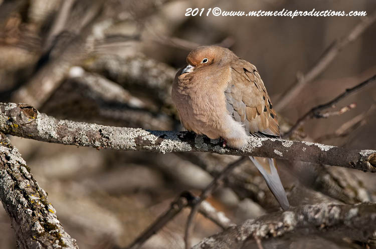 Mourning Dove Picture-30