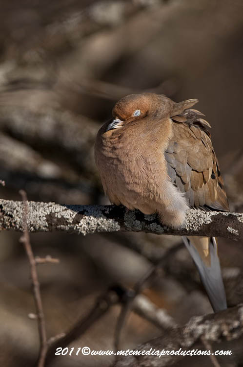 Mourning Dove Picture-31