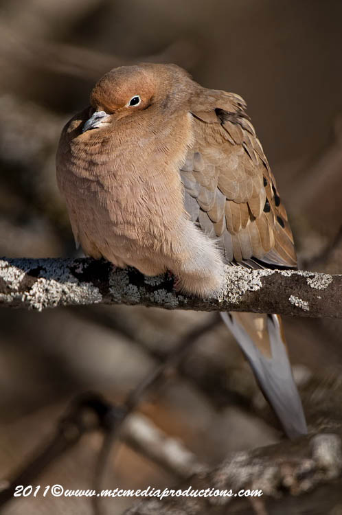 Mourning Dove Picture-32