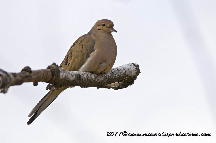 Mourning Dove Picture-33