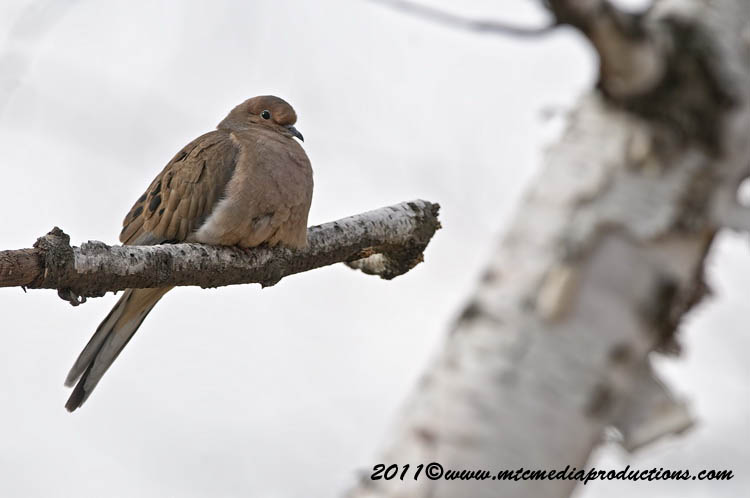 Mourning Dove Picture-34