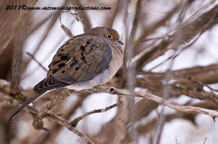Mourning Dove Picture-35