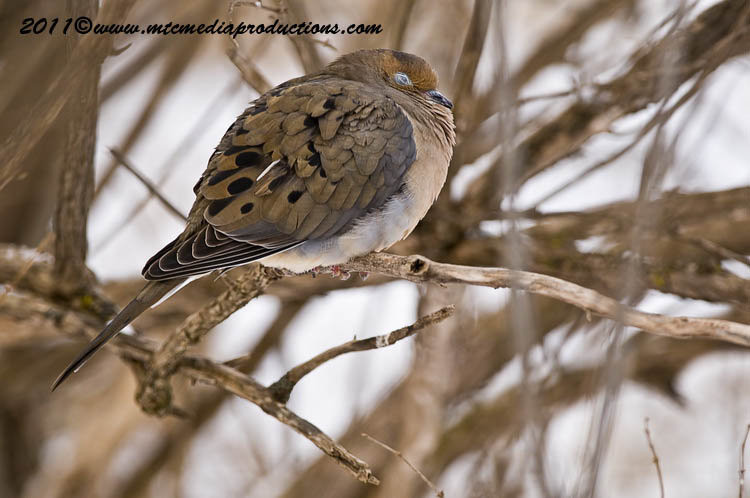 Mourning Dove Picture-36