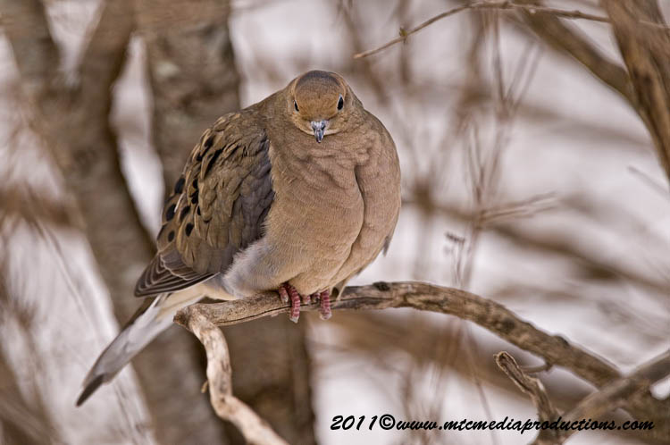 Mourning Dove Picture-37