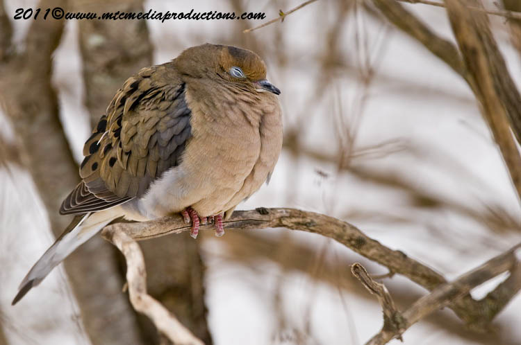 Mourning Dove Picture-38