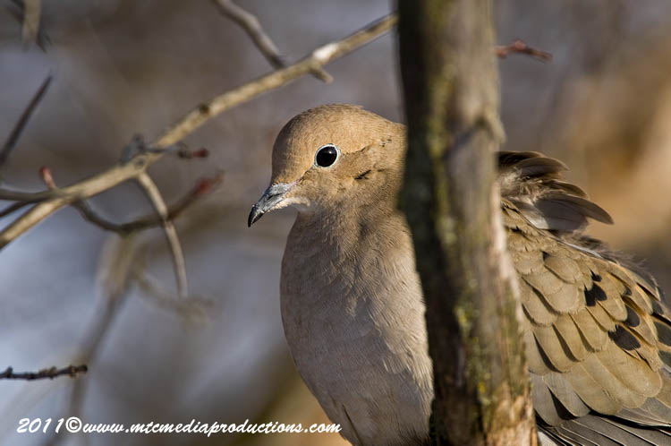 Mourning Dove Picture-39