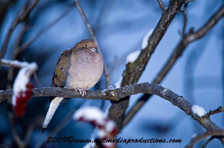 Mourning Dove Picture-04