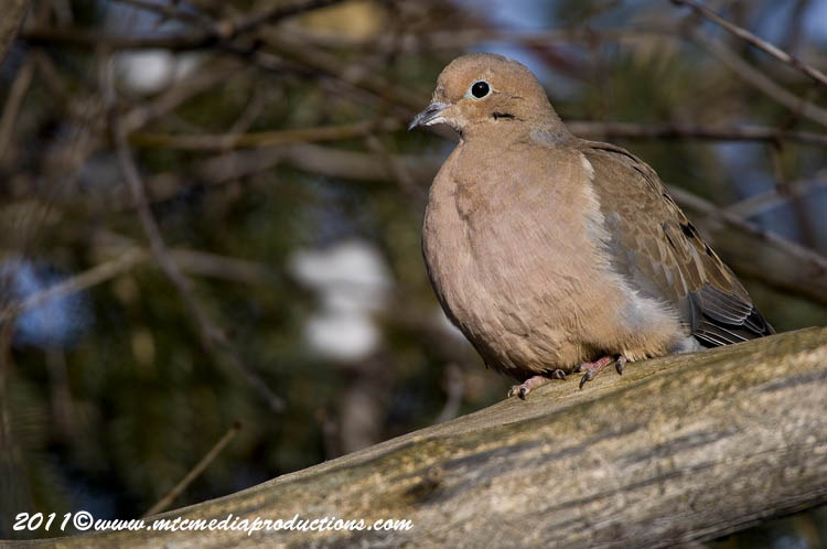 Mourning Dove Picture-40