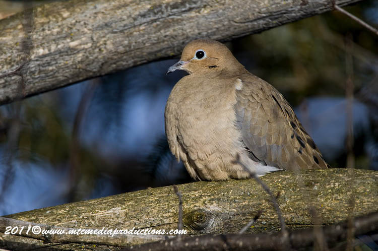 Mourning Dove Picture-41