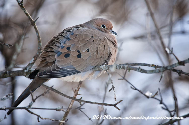 Mourning Dove Picture-43