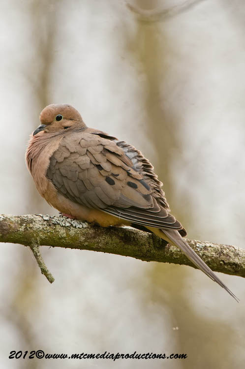Mourning Dove Picture-44