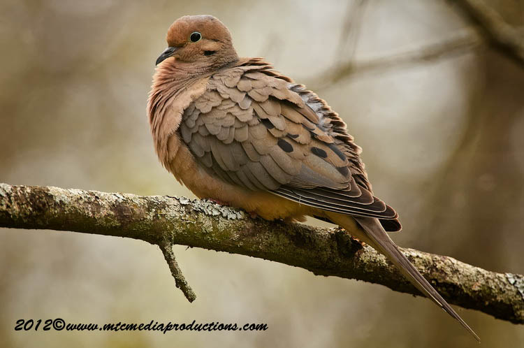 Mourning Dove Picture-45