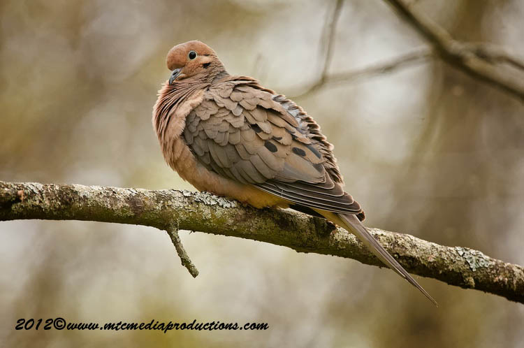 Mourning Dove Picture-46