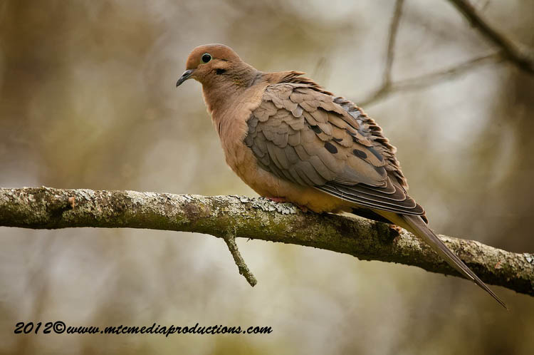 Mourning Dove Picture-47