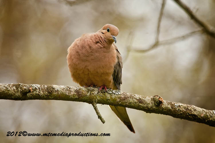 Mourning Dove Picture-48