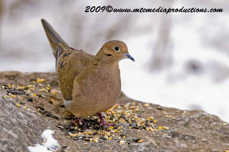 Mourning Dove Picture-05