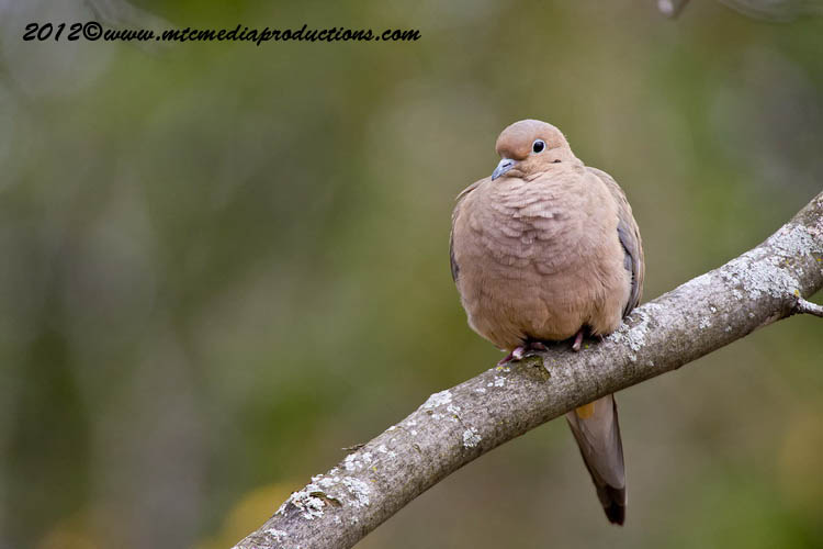 Mourning Dove Picture-51