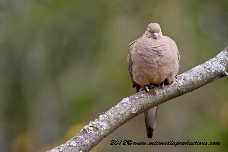 Mourning Dove Picture-52