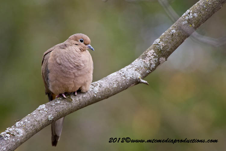 Mourning Dove Picture-53