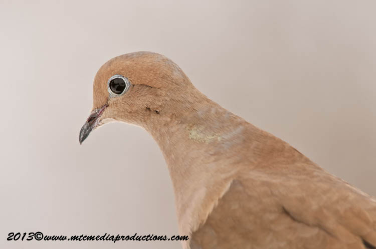 Mourning Dove Picture-54