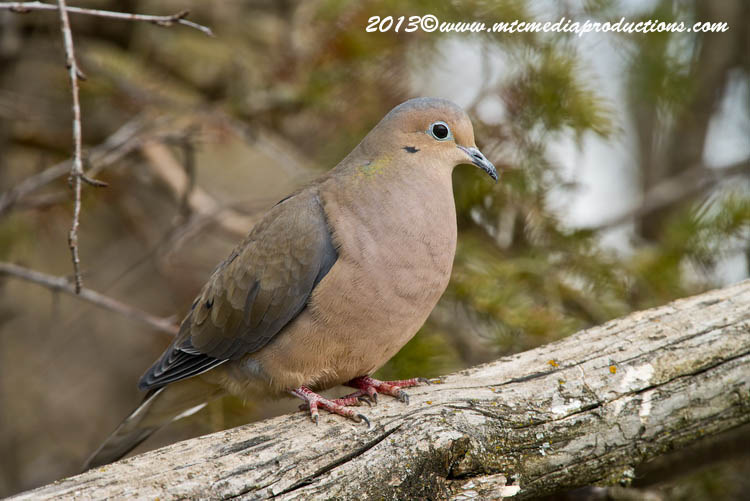 Mourning Dove Picture-55