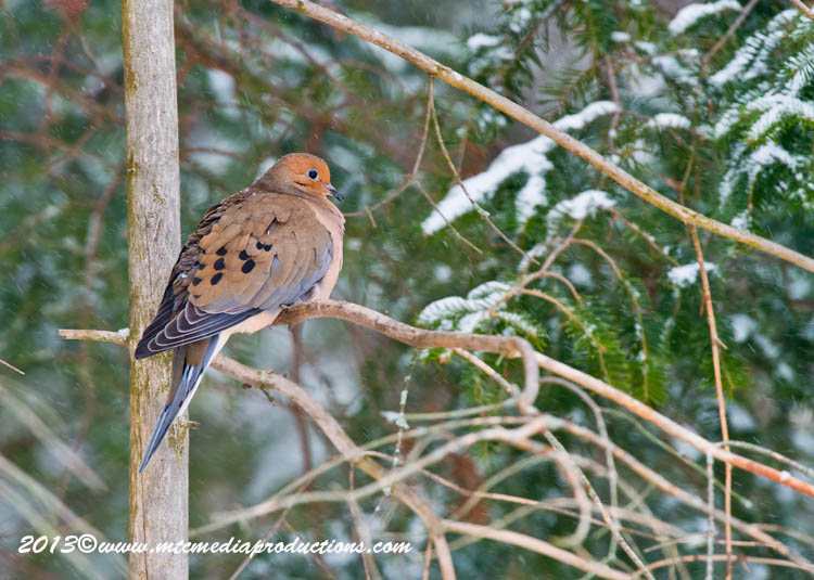 Mourning Dove Picture-56