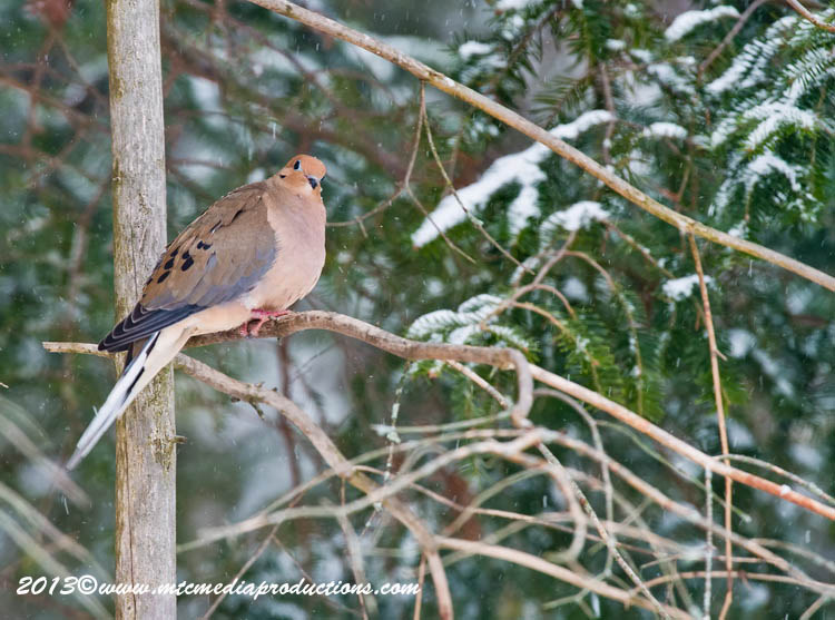 Mourning Dove Picture-57