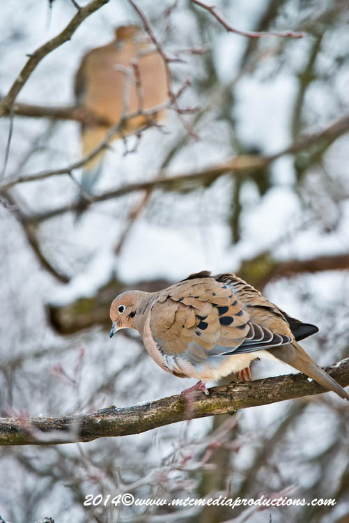 Mourning Dove Picture-58