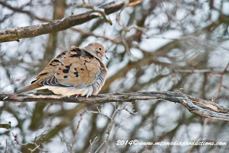 Mourning Dove Picture-59