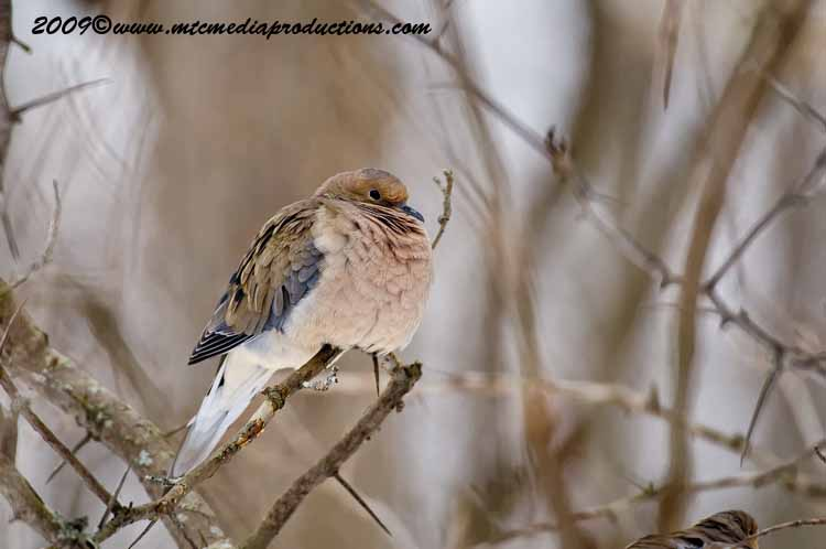 Mourning Dove Picture-06