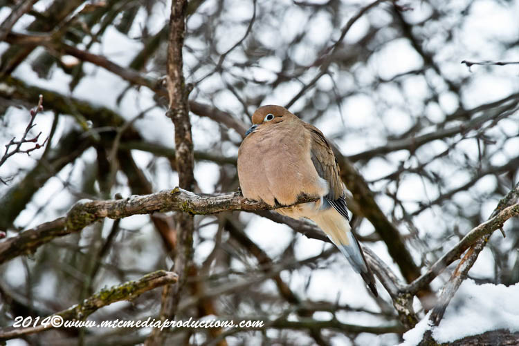Mourning Dove Picture-60