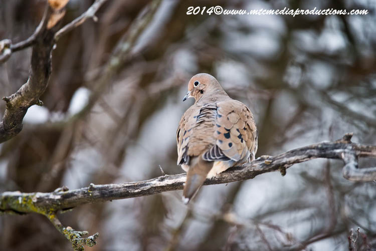 Mourning Dove Picture-61