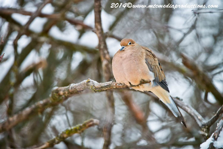 Mourning Dove Picture-62