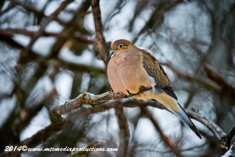 Mourning Dove Picture-63