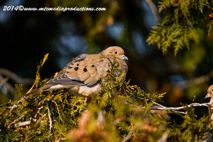 Mourning Dove Picture-64