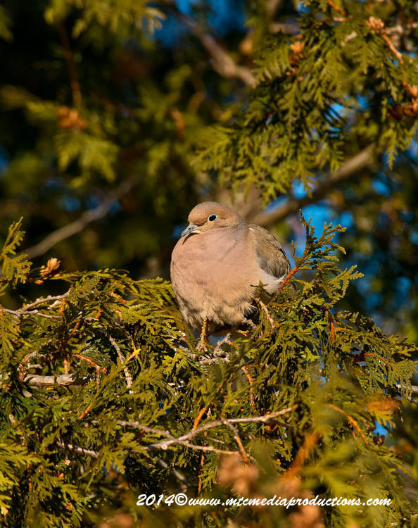 Mourning Dove Picture-65