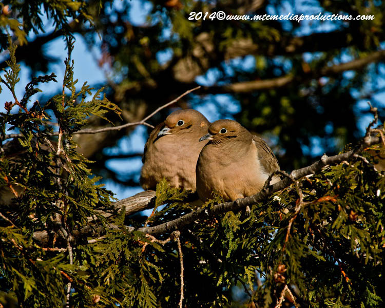 Mourning Dove Picture-66