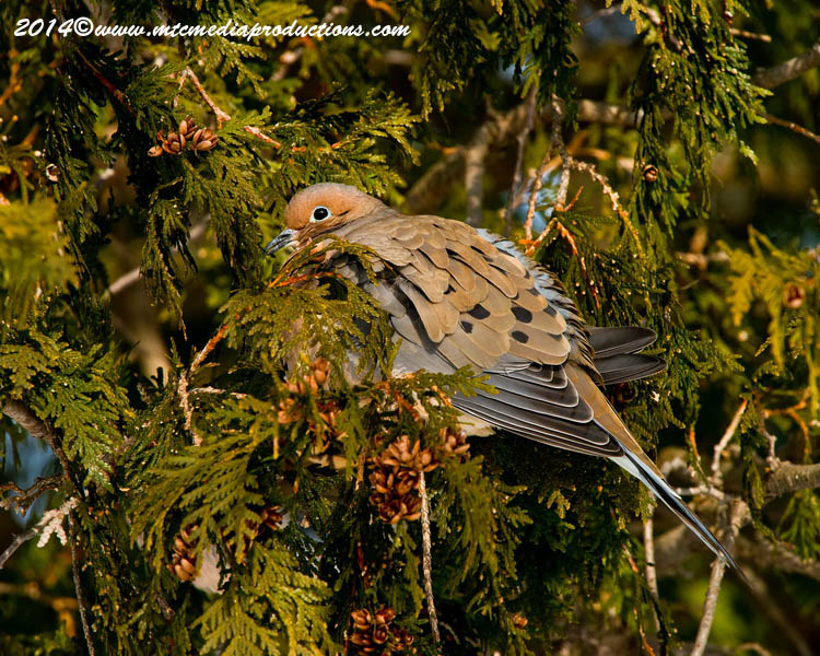 Mourning Dove Picture-67