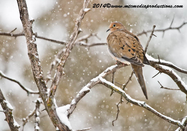 Mourning Dove Picture-68