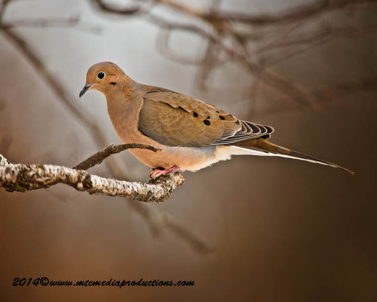Mourning Dove Picture-69
