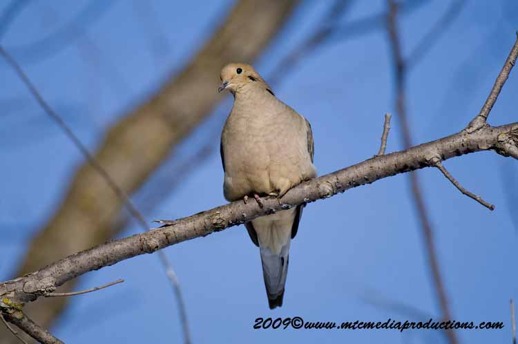 Mourning Dove Picture-07
