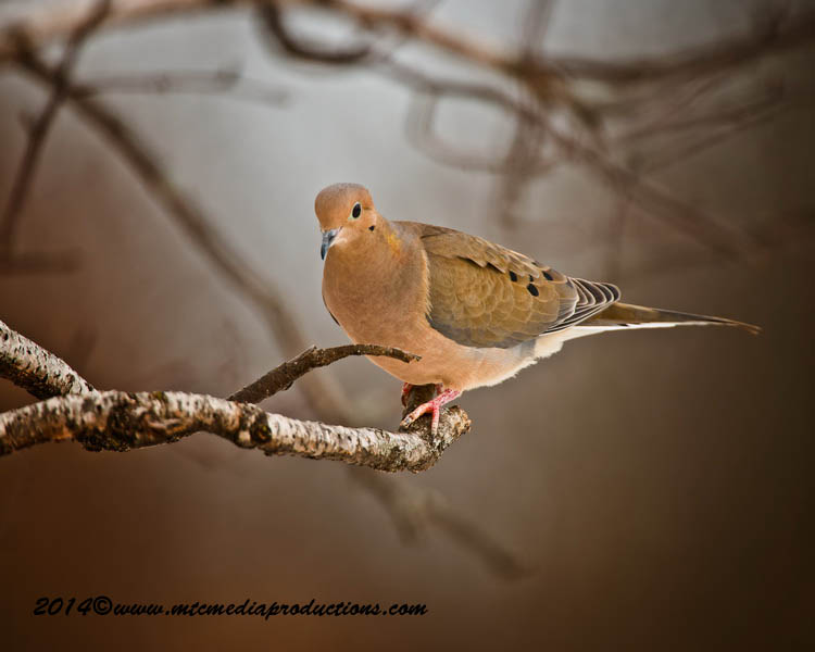 Mourning Dove Picture-70