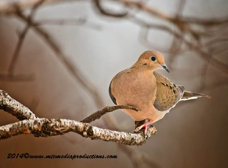 Mourning Dove Picture-71