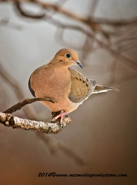 Mourning Dove Picture-72
