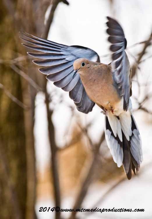 Mourning Dove Picture-74