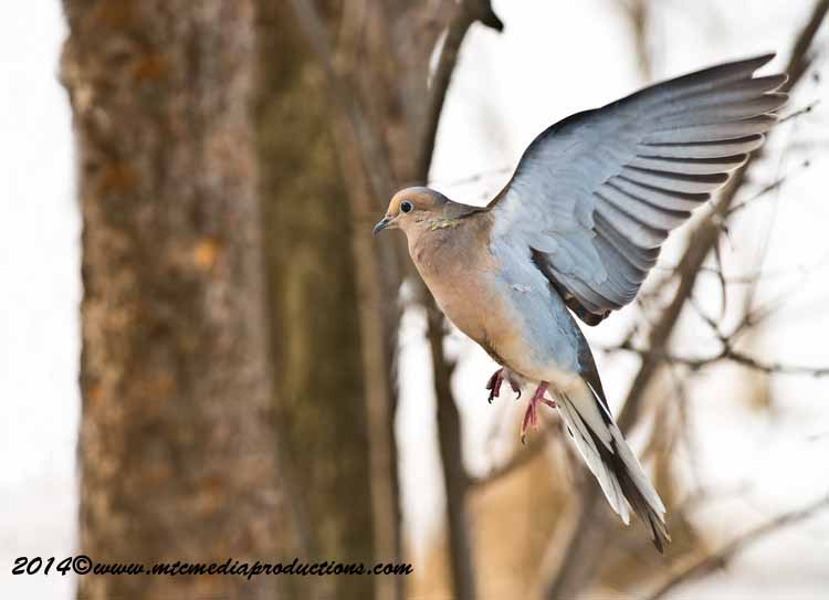 Mourning Dove Picture-75